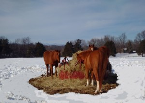 Retired racehorses at TRF Montpelier enjoying hay after January Blizzard