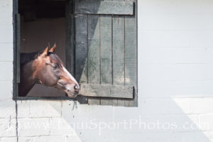 One of the horses at Blackburn looks out of his stall window at the activities ourtisde.