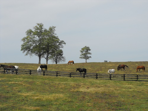 Blackburn herd