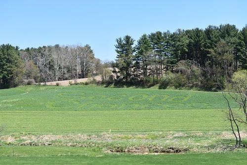 Maryland grass