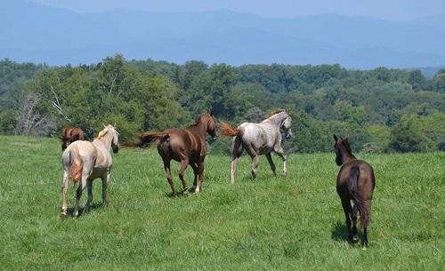 Montpelier horses running