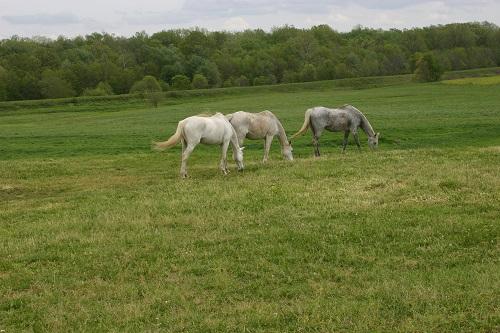 Vandalia grazing grays